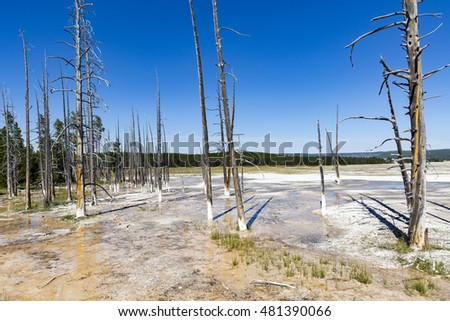 Dead trees in Yellowstone National Park.