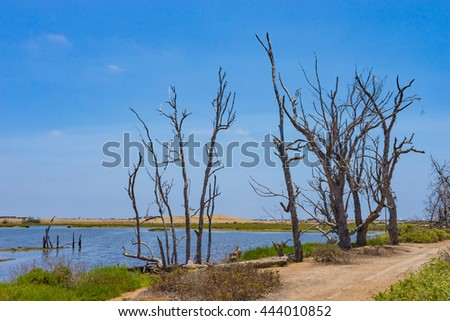 Dead trees stand on the side of a walking path near a tidal pool and swamp land near Huntington Beach California. - stock photo
