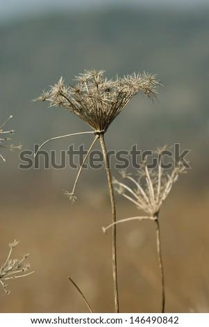 dead wildflowers, november - stock photo