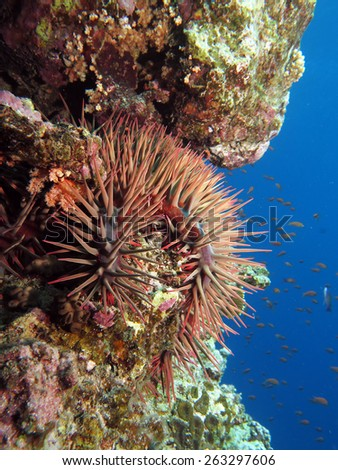 Deadly crown of thorns (Acanthaster plancii starfish) on a reef wall - stock photo