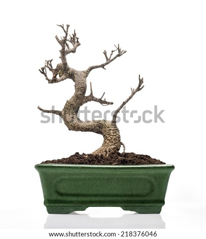 Death bonsai tree planted on a pot. against white background - stock photo