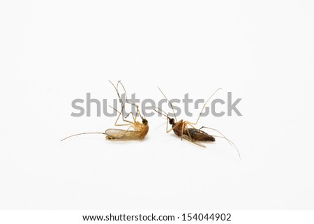 death of a mosquito on white background  - stock photo