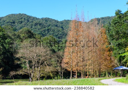 Deciduous Cypress with autumn colors - stock photo