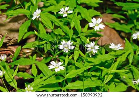 Deciduous forest floor with blooming European false stitchwort (Pseudostellaria europaea) - stock photo