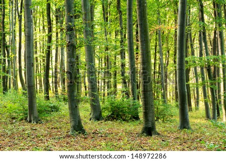 Deciduous forest with European Beech trees at sunset light - stock photo