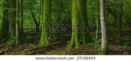 Deciduous forest with old tree moss wrapped in foreground,poland,podlasie,landscape reserve of Bialowieza Forest - stock photo