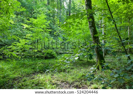 Deciduous natural stand in summer, Bialowieza Forest, Poland, Europe