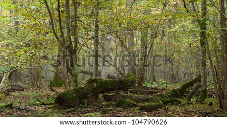 Deciduous natural stand of Bialowieza Forest in mist with broken oak tree in foreground - stock photo