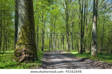 Deciduous stand of Bialowieza Forest at sunny springtime day and ground road leading inside stand with old oak tree on left