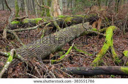 Deciduous stand of Bialowieza Forest in autumn with oak logs moss wrapped lying,Bialowieza Forest,Poland,Europe - stock photo