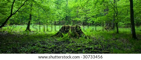 Deciduous stand of Bialowieza Forest in springtime with fresh green grassy bottom with old stump central located