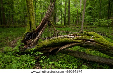 Deciduous stand of Bialowieza Forest in springtime with partly dead broken hornbeam in foreground - stock photo