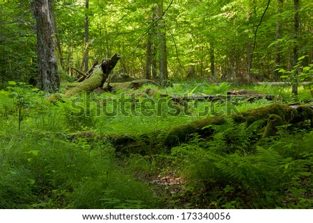 Deciduous stand of Bialowieza Forest in summer with broken trees in background partly declined - stock photo