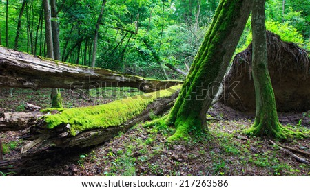 Deciduous stand of Bialowieza Forest in summer with broken trees in foreground partly declined - stock photo