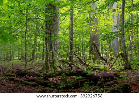 Deciduous stand of Bialowieza Forest in summer with broken trees in foreground partly declined and moss wrapped,Bialowieza Forest,Poland,Europe - stock photo