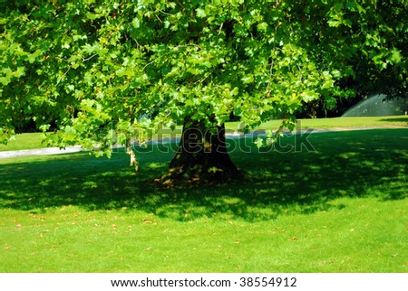 deciduous tree a maple with a shade on a green short-haired lawn in park