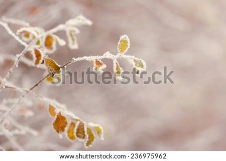 Deciduous tree branch covered with snow and frost. Winter forest, nature, winter, frost, frosty day - the concept for the New Year greeting card or background image for the winter season. Winter. - stock photo