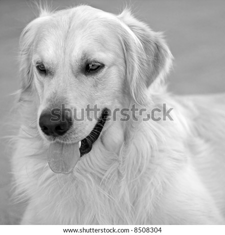 Deco, my golden retriever, photographed with a 50 mm, large aperture