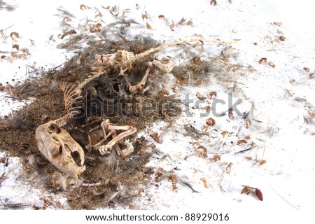 Decomposing life cycle of a grey field mouse (Mus Musculus)  - day 056