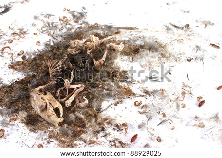 Decomposing life cycle of a grey field mouse (Mus Musculus)  - day 047