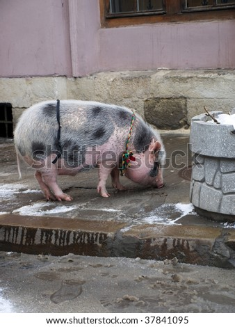 Decorated amusing pig walking on Lviv's streets, Ukraine on winter.