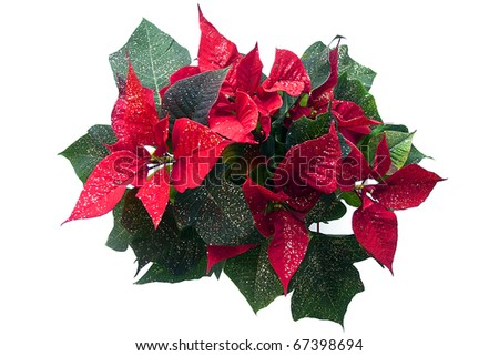 Decorated poinsettia a.k.a Christmas flower, isolated on a white background - stock photo