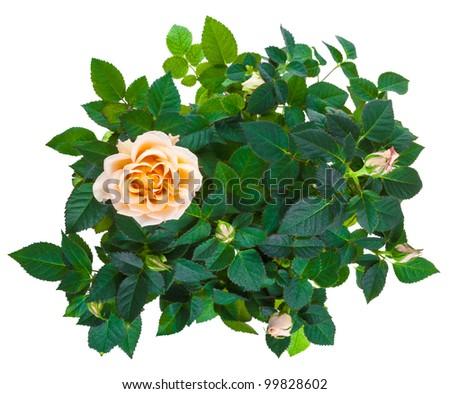 decoration shrub roses isolated on white background - stock photo