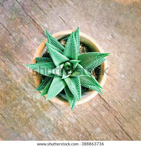 Decorative aloe plant in clay pot, on old wooden surface. - stock photo