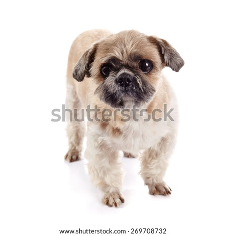 Decorative amusing small beige doggie of breed of a shih-tzu - stock photo