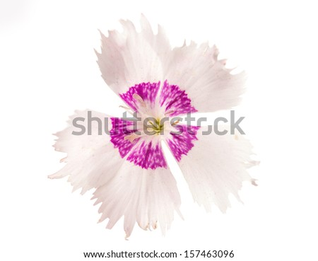 decorative carnation on a white background