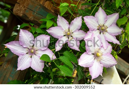 decorative curly clematis flowers. purple. close-up. Flora. wallpaper
