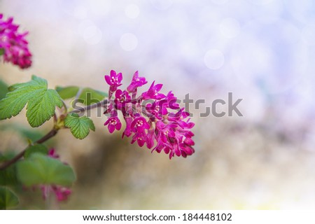 decorative flowering currant on bokeh background - stock photo