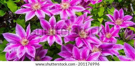 decorative flowers blooming clematis on a sunny day on the plot - stock photo