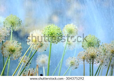 Decorative flowers of onion under water streams in the garden - stock photo