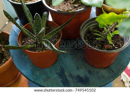 Decorative green houseplants in brawn pot standing on blue wooden table
