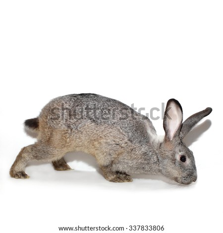 Decorative grey rabbit. Adults male, 1 year old: view in the profile - stock photo