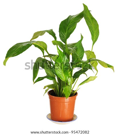 Decorative indoor plant in a pot.Spathiphyllum.
