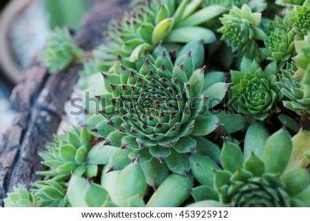 Decorative Miniature succulent plants. - stock photo