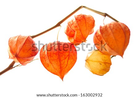 Decorative orange physalis berries on white background - stock photo