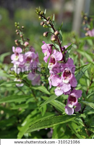 decorative pink flower angelonia grows in the flowerbed - stock photo