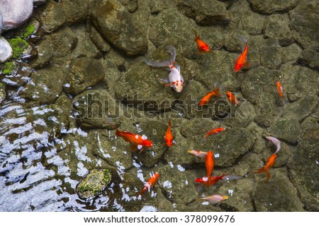 Rock fish stock images royalty free images vectors for Decorative pond fish