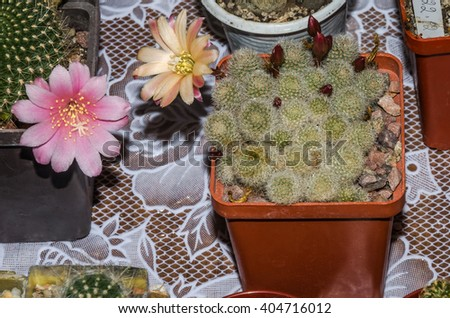 Decorative prickly cacti in pots from around the world at the exhibition florists in Lviv, Ukraine