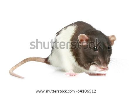Decorative rat on a white background - stock photo