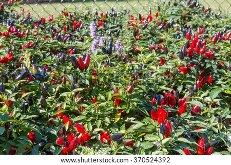 Decorative ripe red and black pepper plants, selective focus, shallow dof. - stock photo