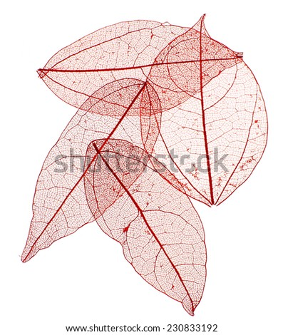 Decorative skeleton leaves isolated on white - stock photo