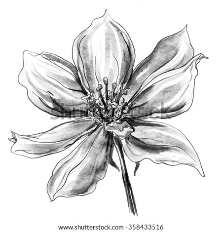 Decorative Wild clematis flower in blossom isolated on white background. Hand drawn watercolor botanical black and white monochrome illustration for wedding printing products, cards, invitation. - stock photo