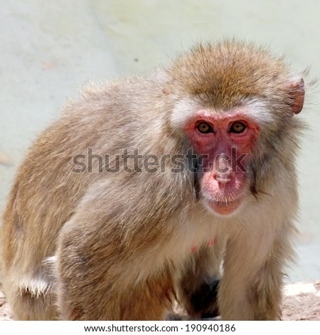 deep and meaningful look of a macaque monkey - stock photo
