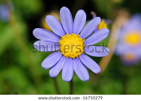 Deep Blue Daisy - stock photo