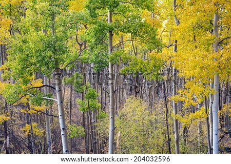 Deep depth of field shot of colorful aspen grove in Santa Fe National Forest in autumn. - stock photo