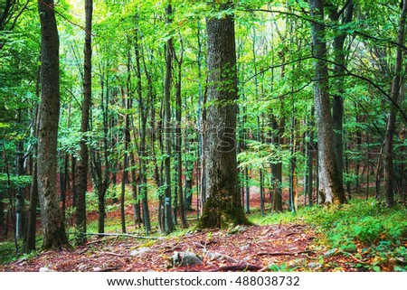 Deep green lush beech forest